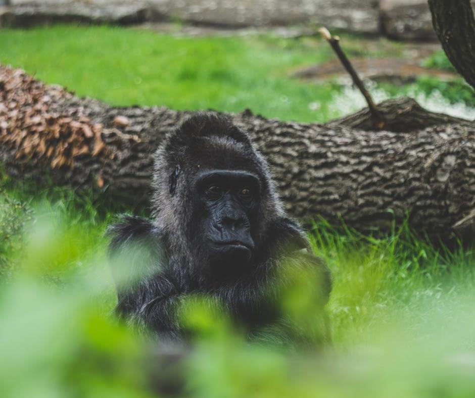 gorilla-in-the-berlin-zoo